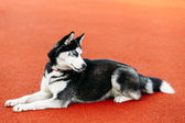 Young Husky Puppy Dog Sitting In Red Floor Outdoor — Stock Photo