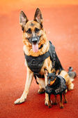 Brown German Sheepdog And Black Miniature Pinscher Pincher Sitti — Stock Photo