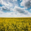 Green Field Blue Sky. Early Summer, Flowering Rapeseed. Oilseed — Stock Photo #68081755