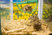 Meriones Unguiculatus, The Mongolian Jird Or Mongolian Gerbil — Stock Photo