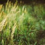 pré champ sec herbe rouge — Photo #69612553