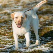 Beautiful White Labrador Lab Dog Outdoor Portrait — Stock Photo