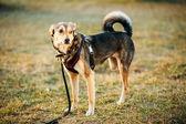 Mixed Breed Medium Size Three Legged Dog Standing At Grass — Stock Photo