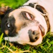 Close Pets Bull Terrier Dog Portrait At Green Grass — Stock Photo #71166581