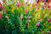 Pink Spirea Flowers On Bush At Spring — Stock Photo