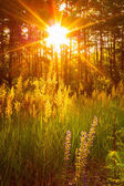 Sunset Sunlight In Green Forest, Summer — Stock Photo