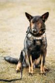 German Shepherd Dog Close Up — Stock Photo