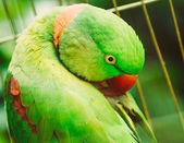 Close Up Alexandrine Parakeet Psittacula Eupatria. Bird Parrot — ストック写真