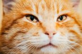 Close Up Head, Snout Of Peaceful Orange Red Tabby Cat Kitten — Stock Photo