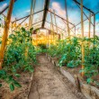 Tomato Plant. Raised Beds In Vegetable Garden — Stock Photo #71396485