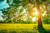 Summer Sunny Forest Trees And Green Grass. Nature Wood Sunlight — Stock Photo