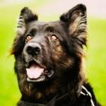 German Shepherd Dog Close Up — Stock Photo #72929449