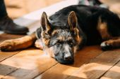 Close Up Young German Shepherd Dog Puppy — Stock Photo