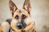 немецкая овчарка собаки крупным планом — Стоковое фото