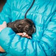 Puppy Sleeps On Girls Hand — Stock Photo #74388629