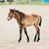 Portrait Of Brown Foal In Farm Paddock — Stock Photo