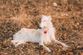 Dog Russian Borzoi Wolfhound Head , Outdoors Spring Autumn Time  — Stock Photo