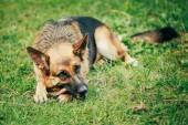 German Shepherd Stick Chewing Outdoor — Stock Photo