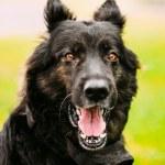German Shepherd Dog Close Up — Stock Photo #78721016