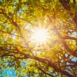 Sunny Canopy Of Tall Trees. Sunlight In Deciduous Forest, Summer — Stock Photo #79119258