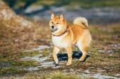 Beautiful Red Shiba Inu Puppy Dog Staying Outdoor In Spring — Stock Photo