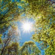 Sunny Canopy Of Tall Trees. Sunlight In Deciduous Forest, Summer — Stock Photo #79123850