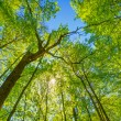 Spring Sun Shining Through Canopy Of Tall Trees. Upper Branches — Stock Photo #79126148