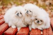 Three White Puppies Pekingese Pekinese Peke Whelps Puppy Dog — Stock Photo