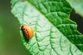 Colpo a macroistruzione della patata Bug su foglia — Foto Stock