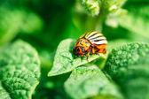 Macro Shot Of Potato Bug On Leaf — Stock Photo