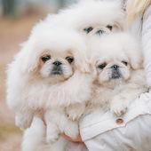 White Pekingese Pekinese Peke Whelp Puppy Dog — Stock Photo