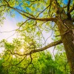 Spring Sun Shining Through Canopy Of Tall Oak Trees. Upper Branc — Stock Photo #79150430