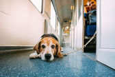Transportation Dog In Railway Carriage — Stock Photo