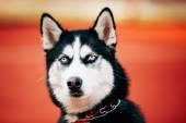 Junge Husky Welpe Hunde Sitting In roten Boden im freien — Stockfoto