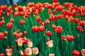 Red Flowers Tulips In Spring Garden Flower Bed Background — Stock Photo