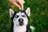 Young Happy Husky Eskimo Dog Sitting In Grass Outdoor — Stock Photo