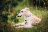 White Russian Wolfhound Dog, Borzoi, Russian Hunting, Sighthound — Stock Photo
