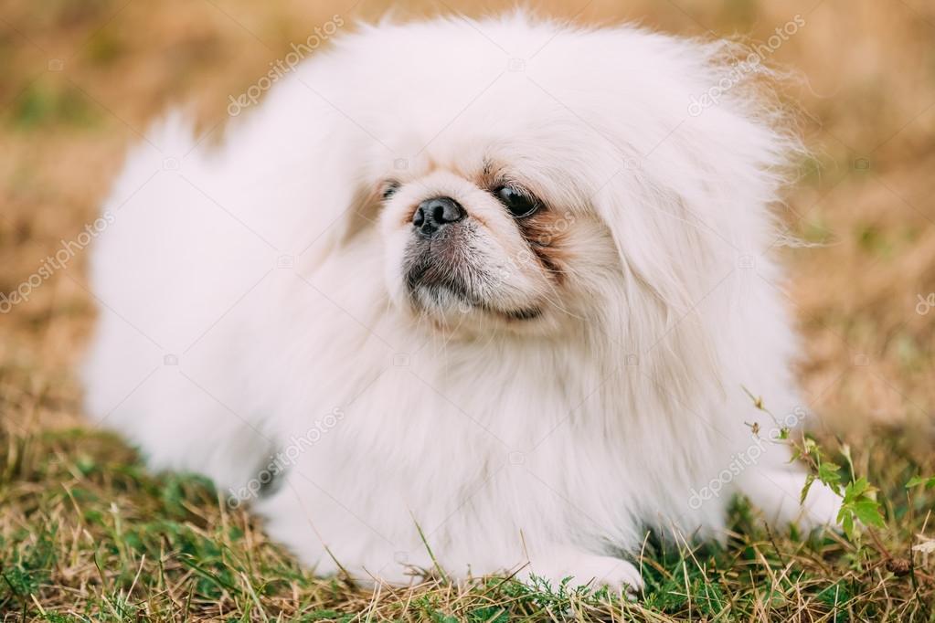 若い白ペキニーズ ペキニーズ屋外です。若い白ペキニーズ ペキニーズの肖像画を間近します。ペキニーズ北京ライオン犬、Pelchie 犬、または Peke がおもちゃの犬の古代