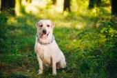 Funny White Labrador Retriever Dog Sitting In Green Grass, Fores — Stock Photo