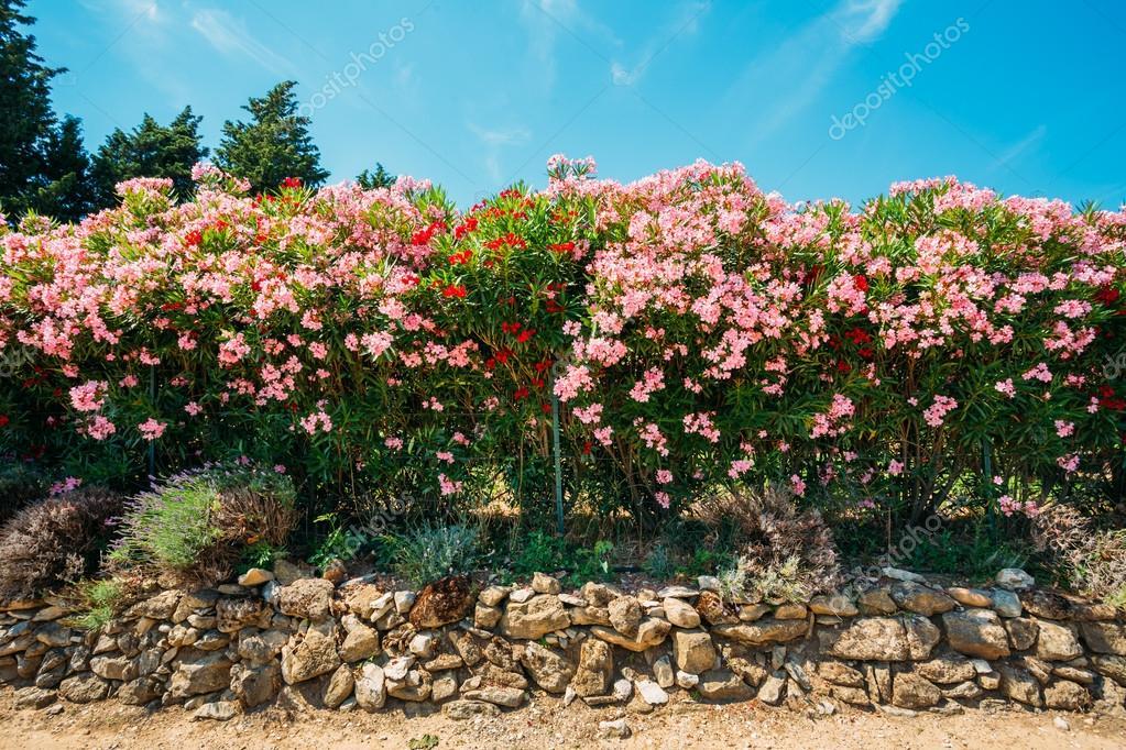 Siepe di arbusti da fiore fiori rosa disegno del giardino foto stock ryhor 95904420 - Arbusti da giardino ...