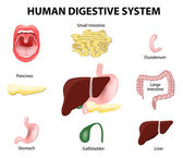 Human Digestive System. Set — Stock Vector
