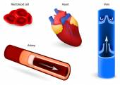 Circulatory system or cardiovascular system — Vetorial Stock
