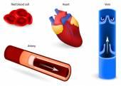 Dolaşım sistemi veya kalp-damar sistemi — Vetor de Stock