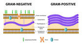 Gram-positive and Gram-negative bacteria — Stock Vector