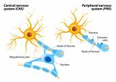 Schwann Cells and Oligodendrocytes — Stock Vector