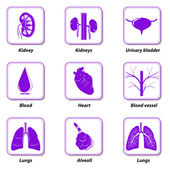 Icons internal human organs for infographic — Stock Vector