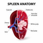 Spleen. Cross section — Stock Vector