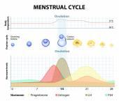 Menstrual cycle — Stock Vector