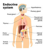 Endocrine system — Stock Vector