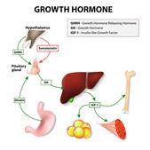 Human Growth Hormone — Stock Vector